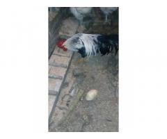 Продам або обміняю когутів на кури