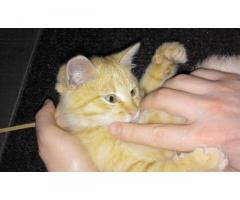 Отдам бесплатно рыжего котенка (мальчика) в добрые руки!
