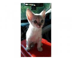 Тайские чистокровные котята