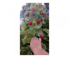 Саджанці малини (літня+ремонтантна) продам