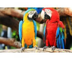 Аренда попугая ара, Ара на праздник