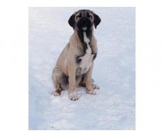 Анатолийская овчарка, щенок в надежные руки