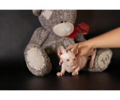 Бамбино. Кошка карлик. Самая маленькая порода в мире.