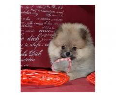 Продам чудесных щенков померанского шпица