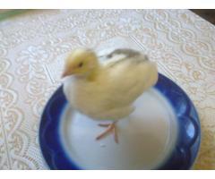 Инкубационное яйцо белого Техасского бройлера (США Texas A & M).