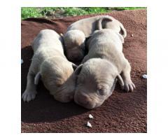 Открыт резерв на щенков американского питбультерьерьера