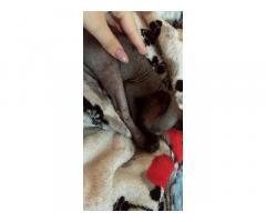 Срочно! Котёнок канадского сфинкса - Изображение 2/2