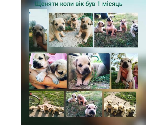 Продам чистокровних цуценят породи Ка Де Бо - 10/11