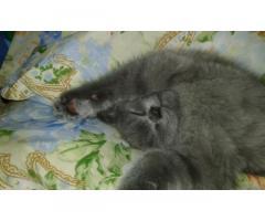 Продается котик Скоттиш страйт