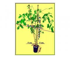 Баобаб (Adansonia digitata) 12 лет.