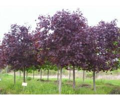 Продаем декоративные и плодово ягодные деревья и кустарники