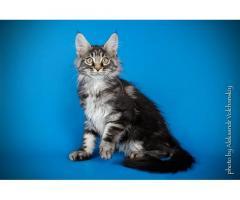 Серебряный котик