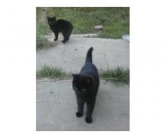 Черный котик скоттишь страйт