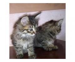 Двое котят ищут добрые руки