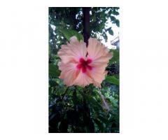Китайская роза (гибискус комнатный)