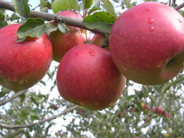 Красивые вкусные яблоки из сада - 3/10