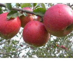 Красивые вкусные яблоки из сада - Изображение 3/10