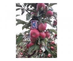 Красивые вкусные яблоки из сада - Изображение 4/10
