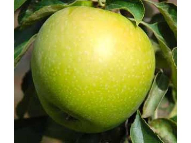 Красивые вкусные яблоки из сада - 5/10