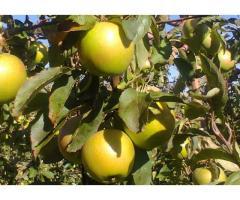 Красивые вкусные яблоки из сада - Изображение 6/10