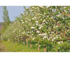 Красивые вкусные яблоки из сада - Изображение 9/10